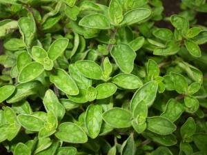 Origano-pianta