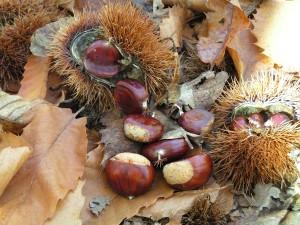 castagna-foglie-ricci