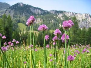 erba-cipollina-montagne