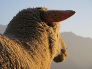profilo-pecora