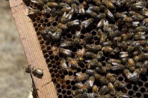 Miele-varesino-api