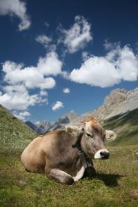 maccagno-mucca-bruna-alpina