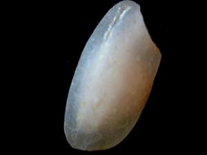 riso-delta-del-Po-chicco