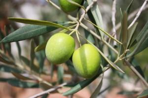 produzione-olio-d'oliva-olive
